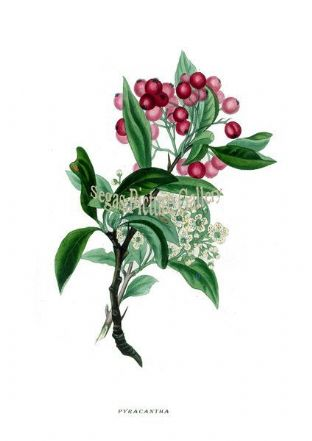 Pyracantha by Rebecca Hey 1837